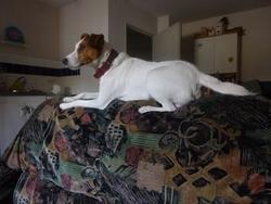 Estor, chien Parson Russell Terrier
