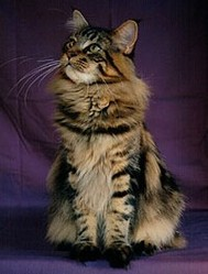 Estraya, chat Maine Coon