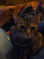 Estrella, chat Européen