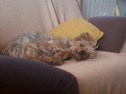 Etan, chien Yorkshire Terrier