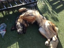Etan, chien Berger allemand