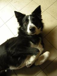 Etel, chien Border Collie