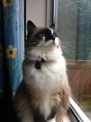 Etelle, chat Ragdoll