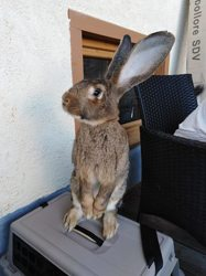 Ethan, rongeur Lapin