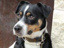 Ethan, chien Jack Russell Terrier