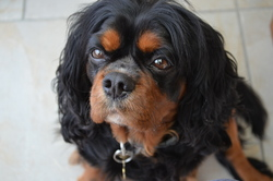 Ethane, chien Cavalier King Charles Spaniel