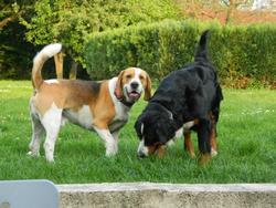 Ethanol, chien Beagle