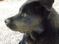 Etho, chien Samoyède