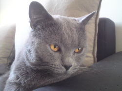 Étincel, chat Chartreux