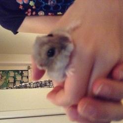 Étincelle, rongeur Hamster
