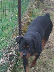 Etna, chien Rottweiler