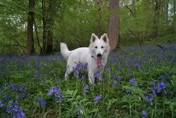 Etna, chien Berger blanc suisse
