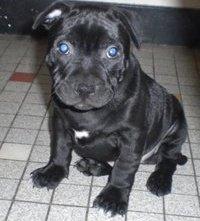 Eto'o, chien Staffordshire Bull Terrier