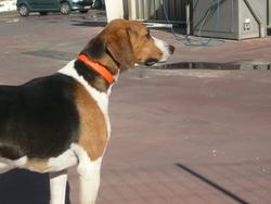 Eto , chien Anglo-Français de petite vénerie
