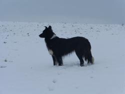 Etoile, chien Border Collie