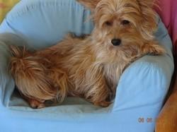 Etoile, chien Yorkshire Terrier