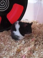 Etoile, rongeur Hamster