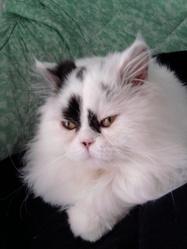 Etoile, chat Persan