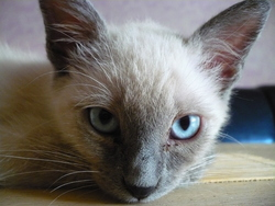 Etoile, chat Siamois