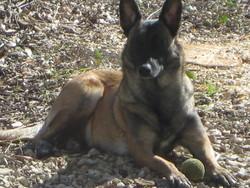 Etoile, chien Berger belge