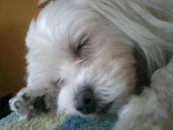 Etoile, chien Bichon maltais