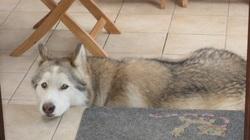 Etoile, chien Malamute de l'Alaska