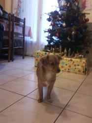 Etoile, chien Podengo portugais