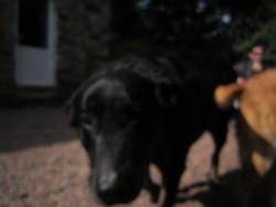étoile , chien Beauceron