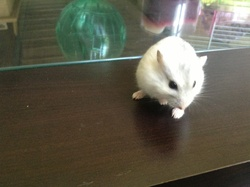 Étoile- Dodo A Vie, rongeur Hamster