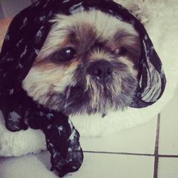Eton, chien Shih Tzu