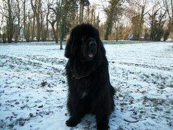 Eton, chien Terre-Neuve