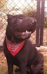 Etoo, chien Shar Pei