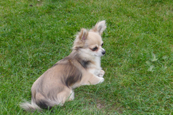 Etoupe Des Murmures De Séléné, chien Chihuahua
