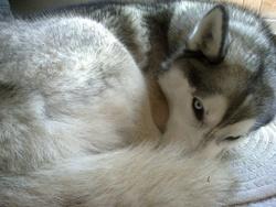 Etys, chien Husky sibérien