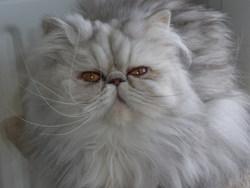 Eugénie, chat Persan