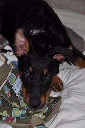 Eugenie, chien Beauceron