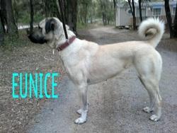 Eunice Fd4s, chien Berger d'Anatolie