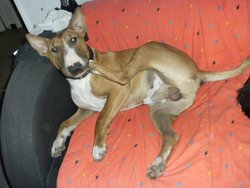 Eureka, chien Bull Terrier