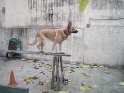 Eureka, chien Berger allemand