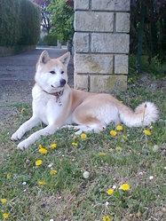 Eurêka, chien Akita Inu