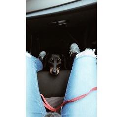 Eurêka, chien Teckel