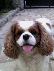 Eurly, chien Cavalier King Charles Spaniel
