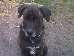 Eurly, chien Cane Corso