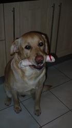 Eurnie, chien Labrador Retriever