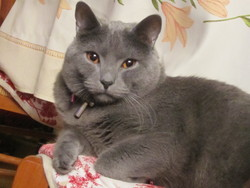 Eusèbe, chat Chartreux