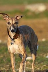 Eva, chien Whippet