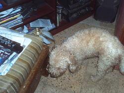 Eva, chien Caniche