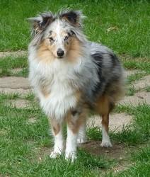 Eva, chien Berger des Shetland