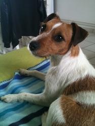 Eva, chien Jack Russell Terrier
