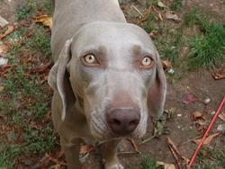 Eva, chien Braque de Weimar